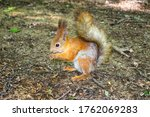A Young Red Squirrel Looks For...
