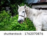 Domestic White Horse On A Gree...