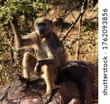 Baboons Encountered While On...
