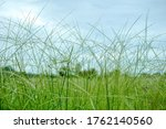 Natural Nature Meadow Grass...