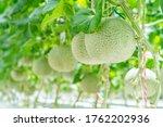 Fresh Melons Plants Cantaloupe  ...