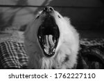 A Pomeranian Dog Caught In The...