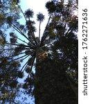 Araucaria Tree At Itaimbezinho...