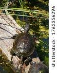 European Pond Turtle  Emys...