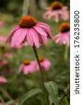 Coneflower Echinacea Garden