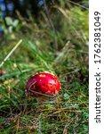 A Bright Red Mushroom Amanita ...