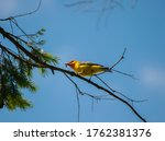 Western Tanager. Western...