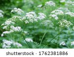 Forest Plant Queen Anne's Lace  ...