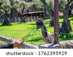Ostrich Eats Grass From Human...
