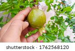 Pomegranate With Leaves And...