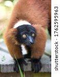 Red Ruffed Lemur  In German...