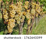 Small photo of Vineyard of Ribolla Gialla , or Rebula, autochthonous grape of Friuli and Slovenia, few days before the harvest. It is known for its high quality white wine.