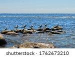 Gulls Sit On Brown Rocks  Blue...
