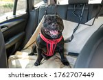 Happy Staffordshire Bull Terrier dog on the back seat of a car with a clip and strap attached to his harness. He is sitting on a car seat cover. - stock photo