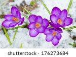 Violet Spring Crocuses In The...