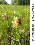Small photo of Group of blooming orchid flowers in mountain meadow. Mixed yellow and purple forms of elder-flowered orchid (Dactylorhiza sambucina) in Bile Karpaty nature reserve, Czech Republic. Selective focus.