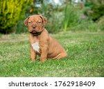 Dogue De Bordeaux Puppy Sat On...