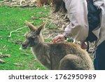 A Girl Is Petting Wallabies.