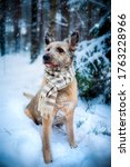 Small photo of Lovely mutt dog rescued from the pet shelter sitting on the snow with scarf.