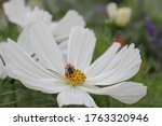 Bee On A Wite Flower  Daisy  In ...