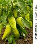 unripe sweet peppers growing in ... | Shutterstock . vector #176347163