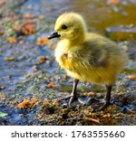 A Baby Goose Gosling With...