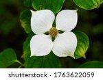 Flower Of Cornus Kousa  Dogwood ...