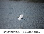 Snowy Egret Flying Over A Water ...