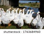 Domestic White Geese  Ducks ...