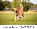 An Adult Golden Retriever Dog...