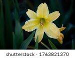 A Beautiful Yellow Day Lily...