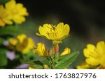 Oenothera Fruticosa  Macro...
