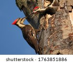 Pileated Woodpecker Nest. ...