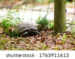 A Gopher Tortoise Exploring The ...