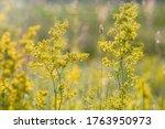 Flowering Meadow  Galium Verum...