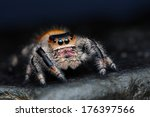 Close up of phidippus regius...