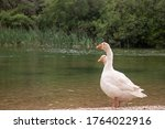 Two White Goose Standing...