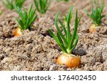 Onion Cultivation.