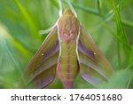 Elephant Hawk Moth Species...