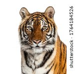 Tiger's Head Portrait  Close Up ...