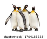 Colony Of King Penguins...