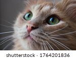 The muzzle of a fluffy beige cat close-up. Green eyes of a cat. Beautiful pet. Mustache. - stock photo