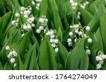 Many Lilies Of The Valley In...