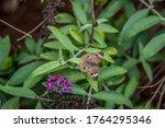 Colorful Common Buckeye...