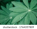 Closeup Green Leaves Of Lupine...