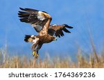 The Steppe Eagle Is A Bird Of...
