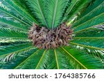 Small photo of Crown of a palm tree, close-up, with incipient fruits on it.