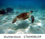 Green Turtle Swimming In The...