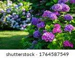 Hydrangea Garden In Maishima ...