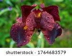 Close Up Of Dark Brown Violet...
